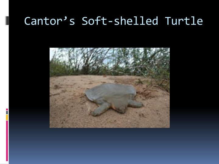 Cantor's Soft-shelled Turtle