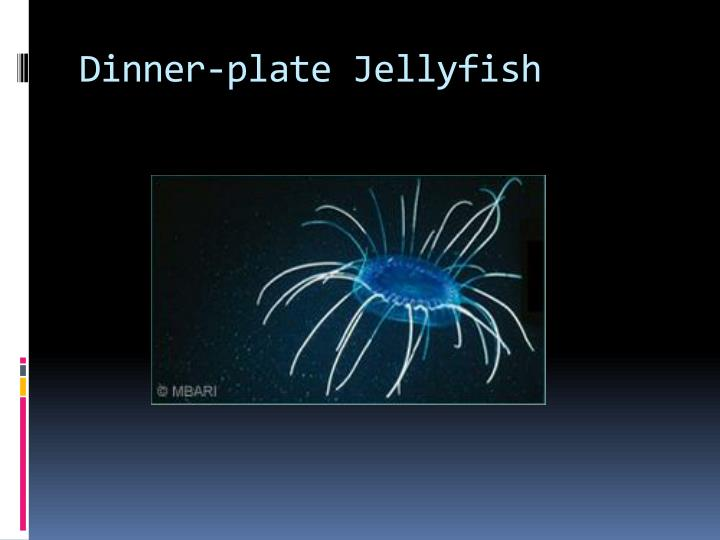 Dinner-plate Jellyfish