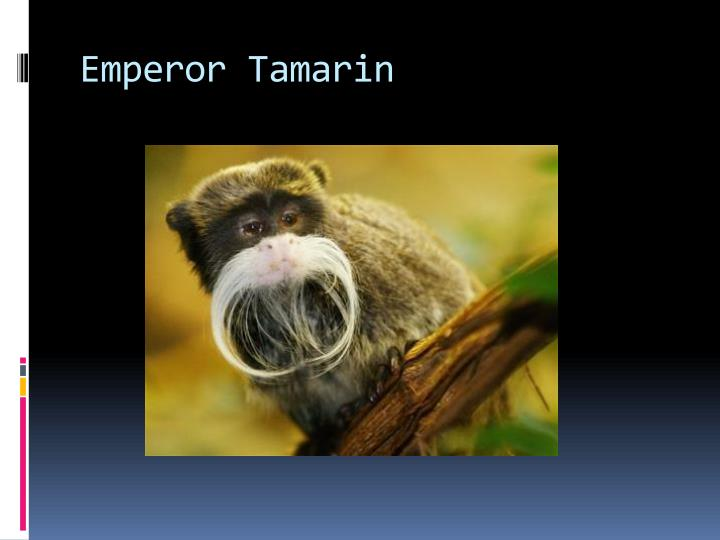 Emperor Tamarin