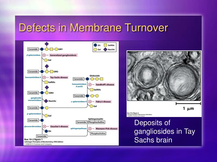 Defects in Membrane Turnover