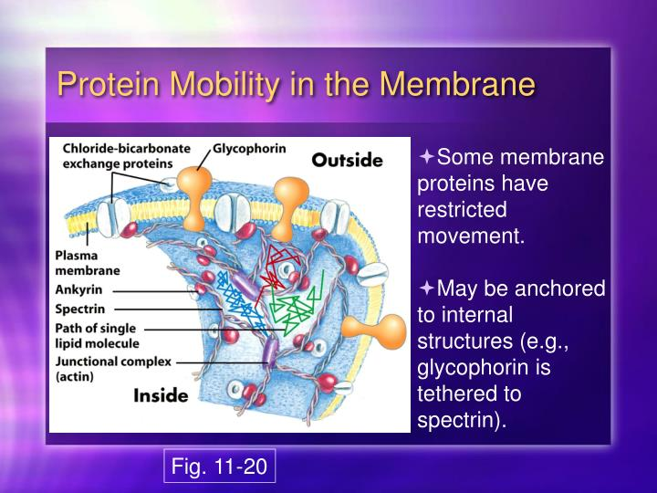 Protein Mobility in the Membrane