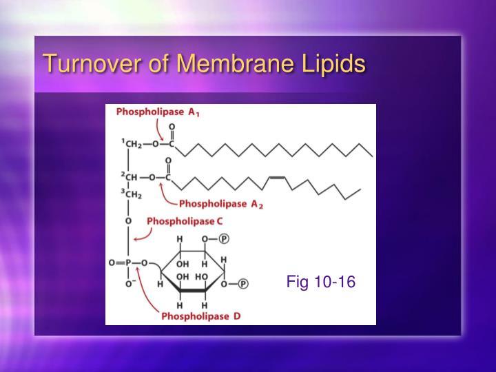 Turnover of Membrane Lipids