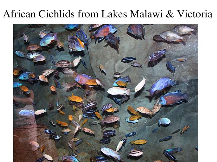 African Cichlids from Lakes Malawi & Victoria