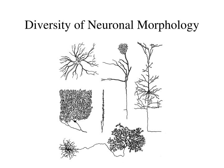 Diversity of Neuronal Morphology