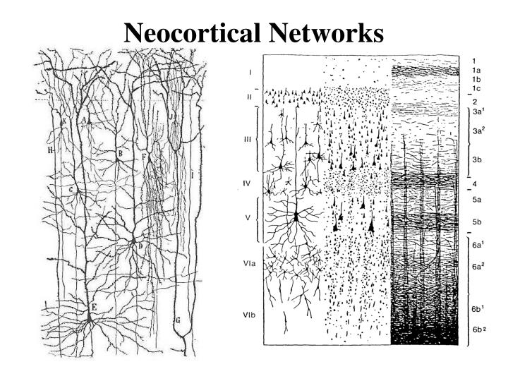 Neocortical Networks