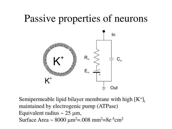 Passive properties of neurons