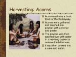 harvesting acorns