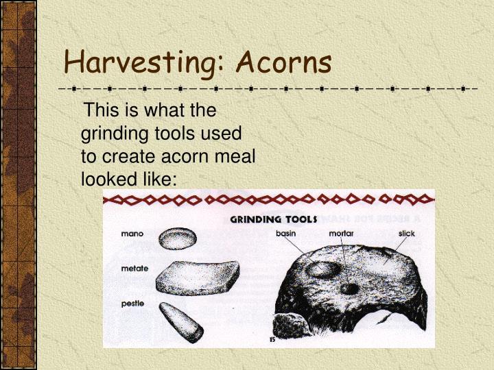 Harvesting: Acorns