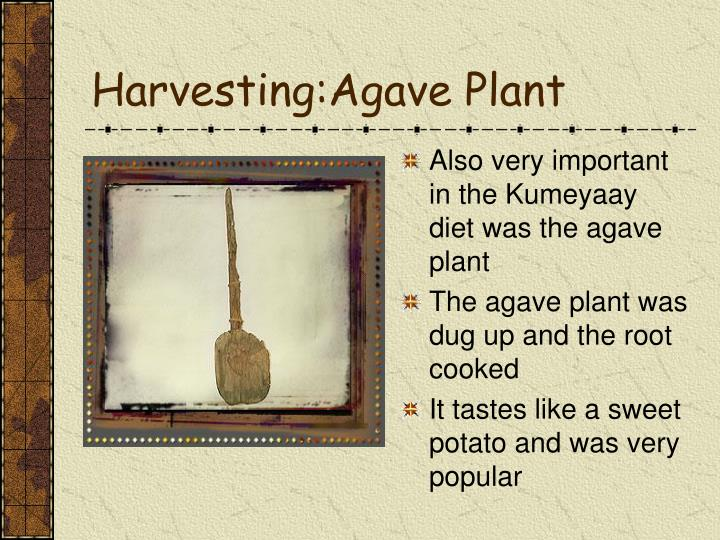 Harvesting:Agave Plant