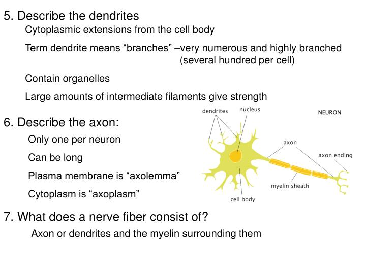 5. Describe the dendrites