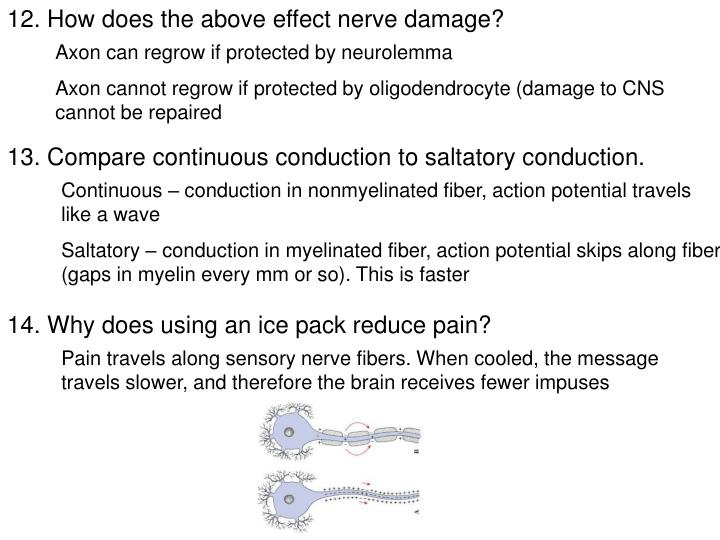 12. How does the above effect nerve damage?