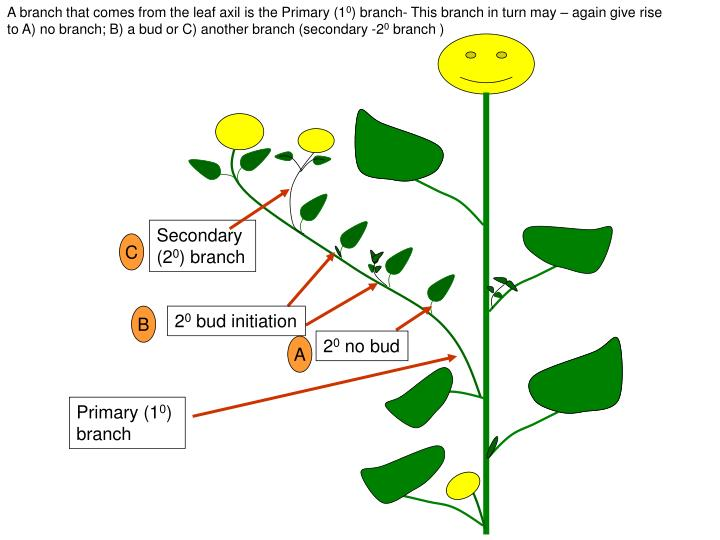 A branch that comes from the leaf axil is the Primary (1