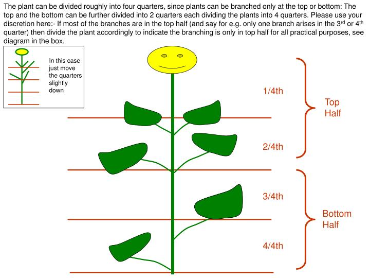 The plant can be divided roughly into four quarters, since plants can be branched only at the top or bottom: The top and the bottom can be further divided into 2 quarters each dividing the plants into 4 quarters. Please use your discretion here:- If most of the branches are in the top half (and say for e.g. only one branch arises in the 3
