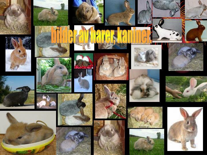 bilder av harer, kaniner.