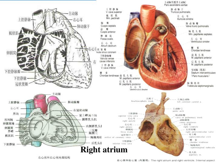 Right atrium
