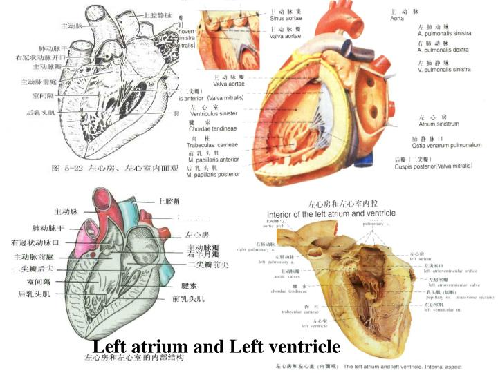 Left atrium and Left ventricle