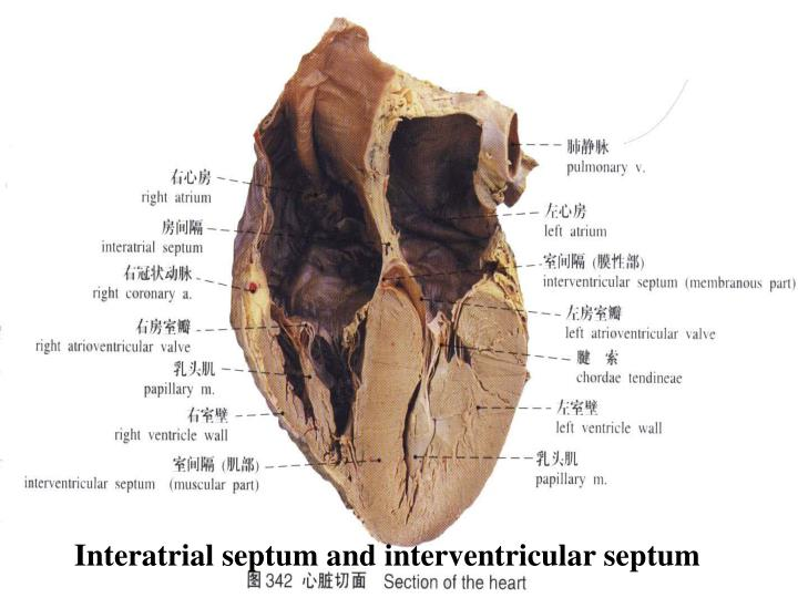 Interatrial septum and interventricular septum
