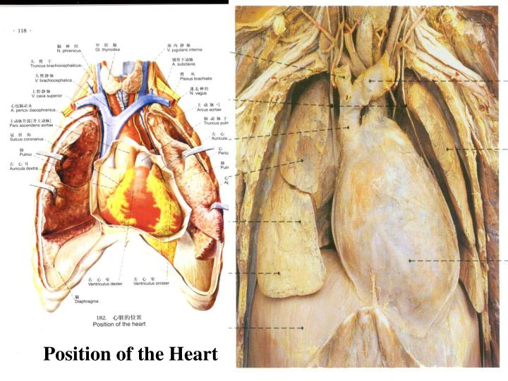 Position of the Heart