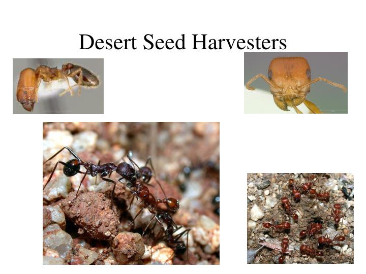 Desert Seed Harvesters