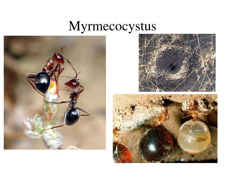 Myrmecocystus