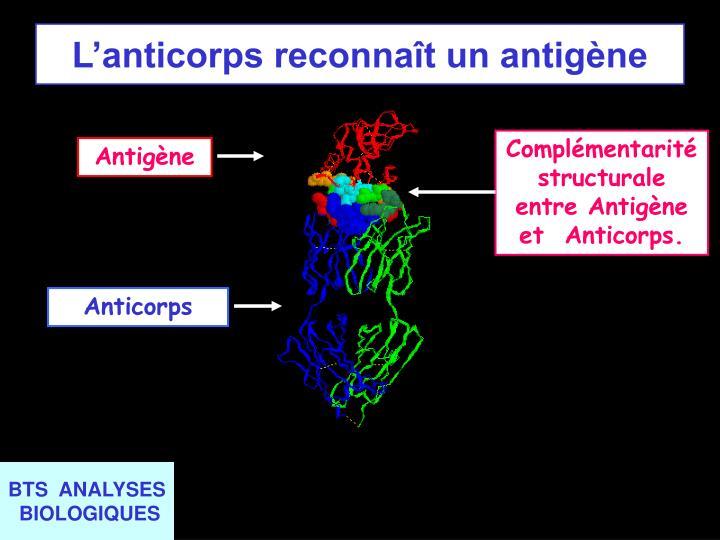 Complémentarité structurale entre Antigène et  Anticorps.