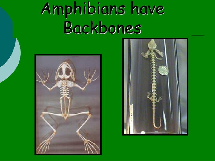Amphibians have Backbones