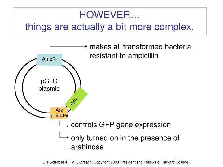 makes all transformed bacteria resistant to ampicillin