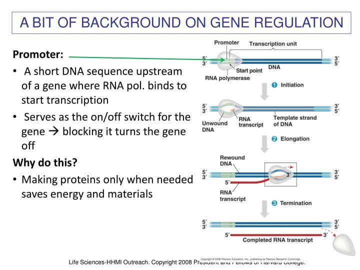 A BIT OF BACKGROUND ON GENE REGULATION