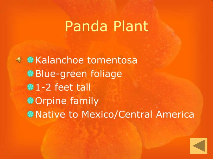 Panda Plant