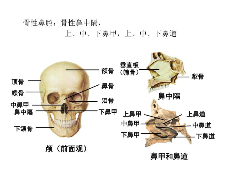 骨性鼻腔:骨性鼻中隔,