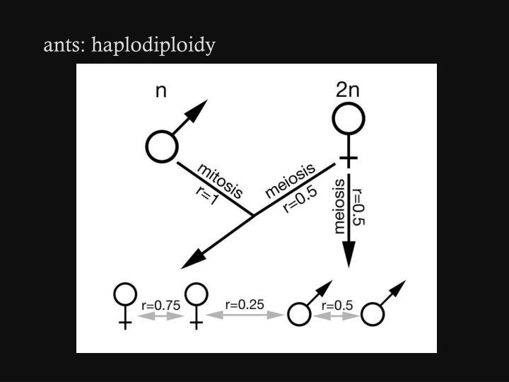 ants: haplodiploidy