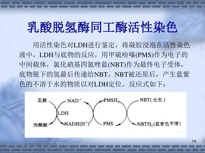 乳酸脱氢酶同工酶活性染色