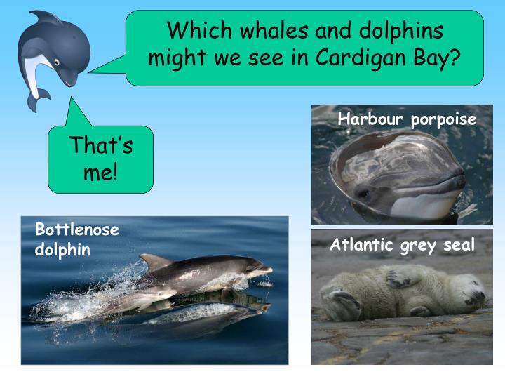 Which whales and dolphins might we see in Cardigan Bay?