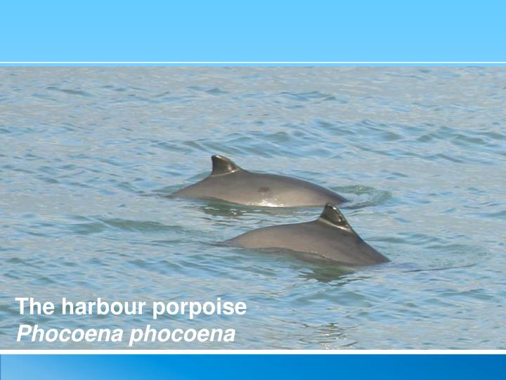 The harbour porpoise