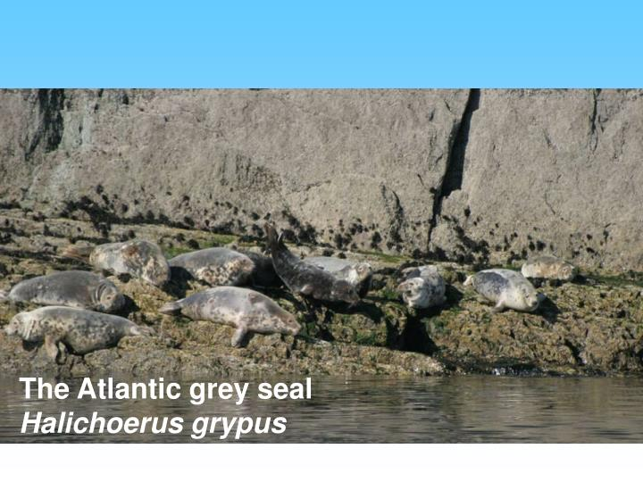 The Atlantic grey seal