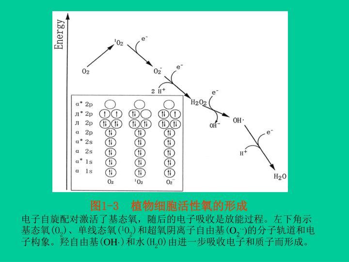 图1-3  植物细胞活性氧的形成