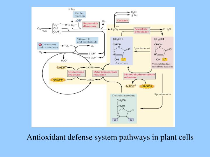 Antioxidant defense system pathways in plant cells