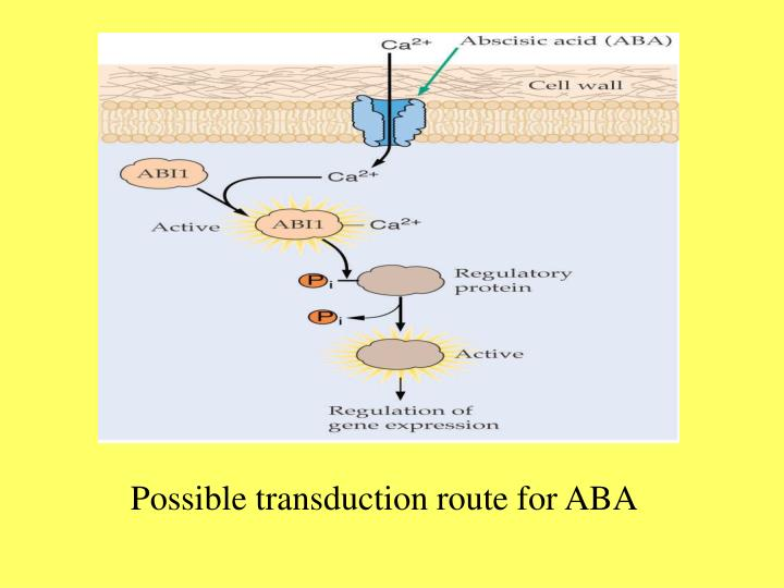Possible transduction route for ABA