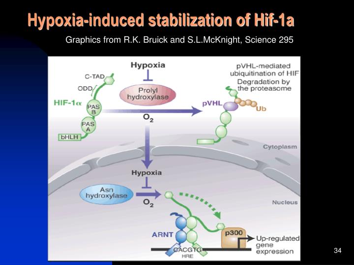 Hypoxia-induced stabilization of Hif-1a