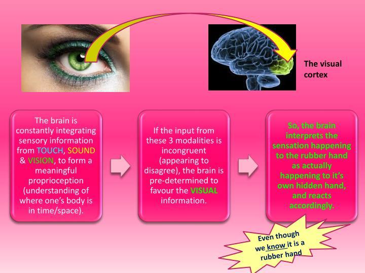 The visual cortex