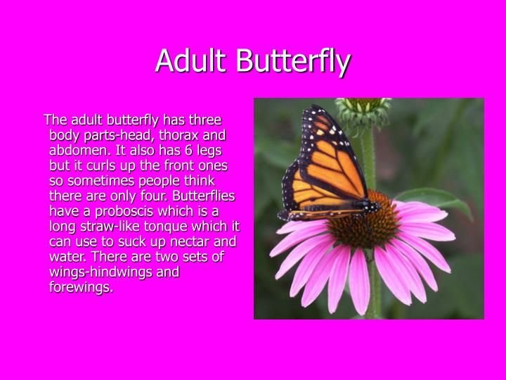 Adult Butterfly
