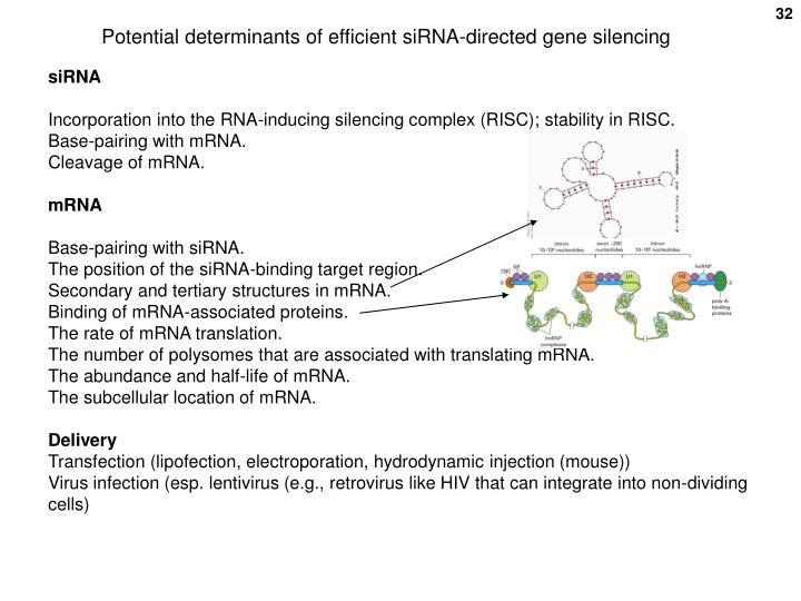Potential determinants of efficient siRNA-directed gene silencing