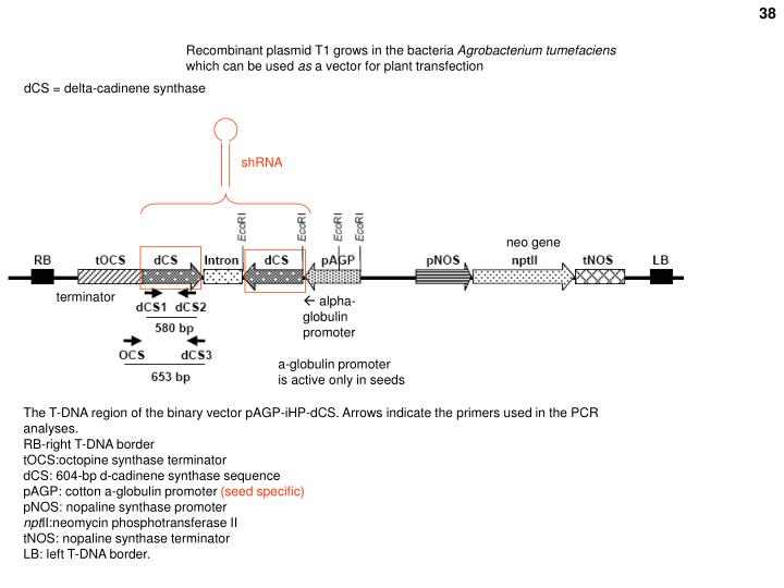 Recombinant plasmid T1 grows in the bacteria