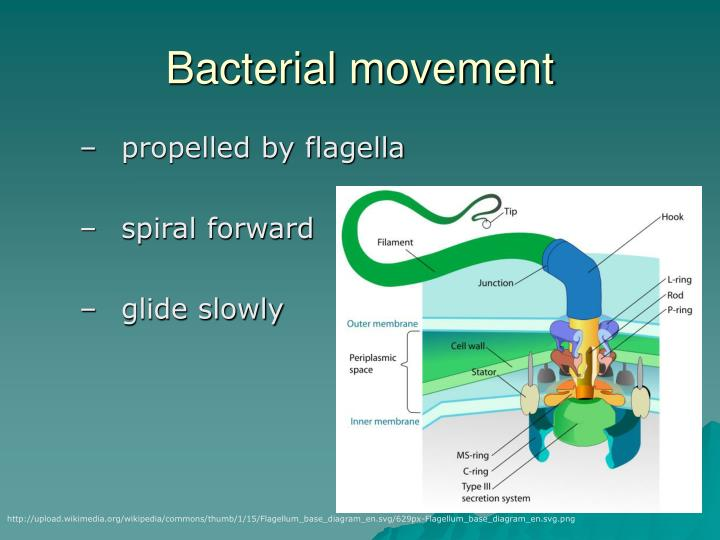 Bacterial movement