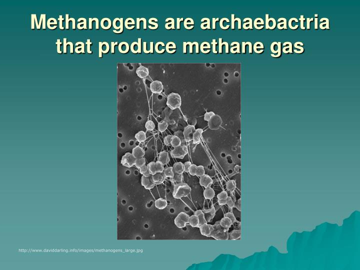 Methanogens are archaebactria that produce methane gas