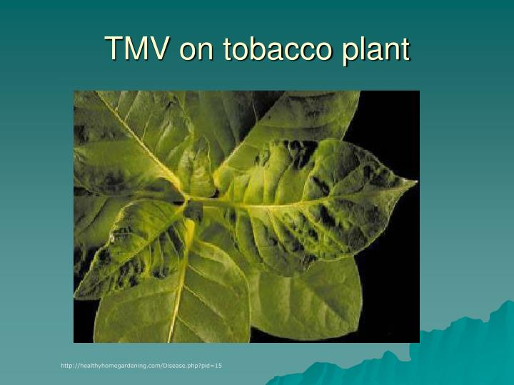 TMV on tobacco plant