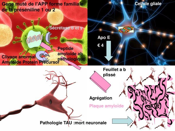 Gene muté de l'APP forme familiale de la préséniline 1 ou 2