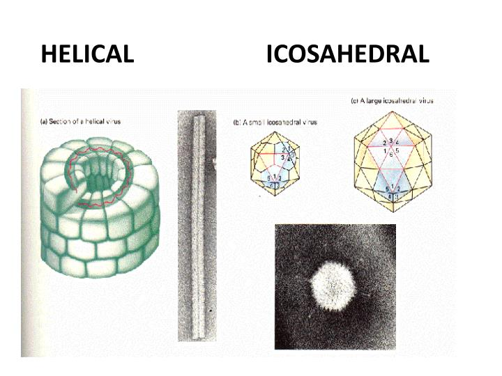 HELICAL                     ICOSAHEDRAL