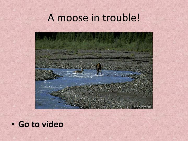 A moose in trouble!
