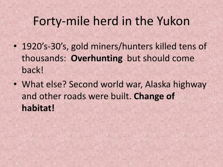 Forty-mile herd in the Yukon